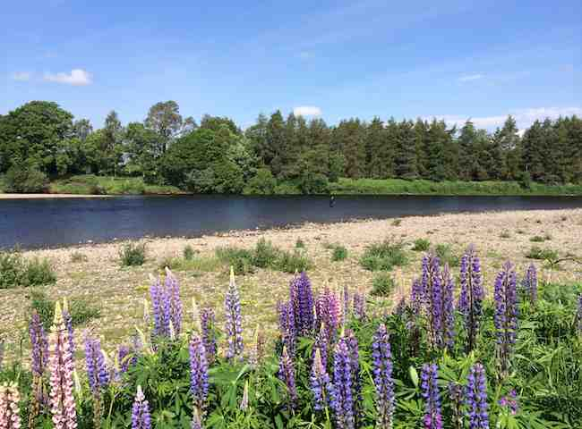Riverbank Flowers On Scottish Rivers