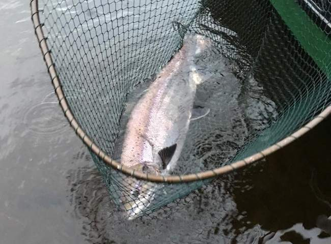 There's a great opportunity on the River Tay during late January to connect with heavyweight salmon that have just entered the river or that ran the river through December. Many of these fine December run fish are generally mistaken for un-spawned previous year stock and aren't recorded as fresh run Spring salmon as was the case here.